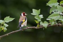 Щегол щегла Goldfinch на ветви Стоковое Изображение RF