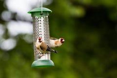 Щегол щегла Goldfinch на фидере Стоковые Фото