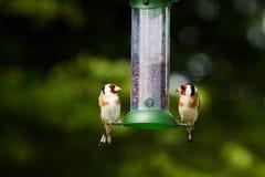 Щегол щегла 2 Goldfinch на фидере Стоковая Фотография