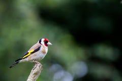 Щегол щегла Goldfinch Стоковое Изображение RF