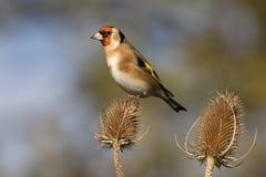 Щегол щегла Goldfinch Стоковые Изображения RF