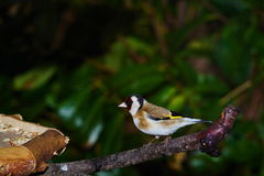 Щегол щегла Goldfinch Стоковое Фото