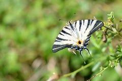 Щеголь бабочки Стоковая Фотография
