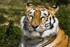 щелкая тигр Стоковое Изображение