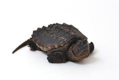 щелкая черепаха стоковое фото