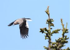 Щелкунчик ` s Clark летая, в пики гор Whistler стоковые изображения rf