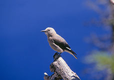 Щелкунчик s clark птицы Стоковое Изображение RF