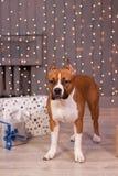 Щенок американского терьера стоит около fairy светов Домашние животные 8 месяцев старых Стоковые Фотографии RF