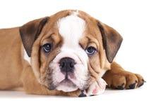щенок английской языка бульдога стоковое изображение