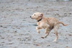 Щенок бежать в песке Стоковая Фотография