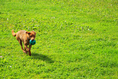 Щенок бежит на траве Стоковые Изображения