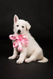 Щенок белого sheep-dog с смычком на шеи Стоковая Фотография RF