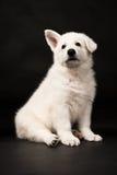 Щенок белого sheep-dog Стоковое Изображение RF