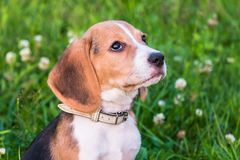 Щенок бигля на прогулке в спокойном вечере лета Портрет умного щенка с слабым признавая взглядом стоковая фотография rf