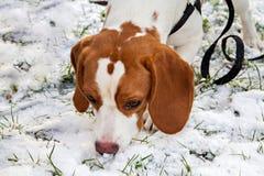 Щенок бигля ищет что-то в снеге Стоковая Фотография RF