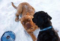 щенок Бордо de dogue Стоковое фото RF