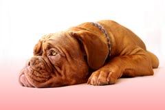 щенок Бордо de dogue Стоковая Фотография