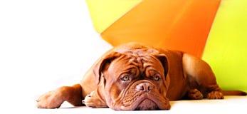 щенок Бордо de dogue Стоковые Изображения