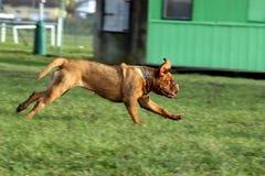щенок Бордо de dogue Стоковая Фотография RF