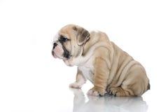 щенок бульдога английский изолированный Стоковая Фотография RF