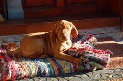 Щенок венгерского vyzhla лежа на ковре стоковое фото