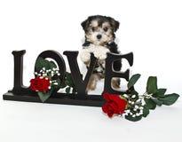 щенок влюбленности Стоковые Изображения RF