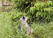 Щенок волка завывая Стоковое Изображение