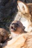 Щенок волка новорожденного Стоковое Изображение RF