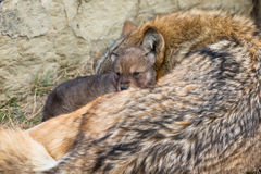 Щенок волка тимберса отдыхая на задней части матери Стоковое фото RF