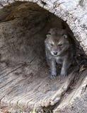 Щенок волка тимберса Стоковое Изображение