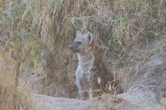 Щенок гиены на вертепе 2 Стоковые Фото