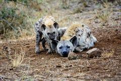 Щенок гиены со своей матерью Стоковые Изображения