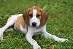 Щенок гончей собаки бигля Стоковые Изображения RF