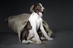 Щенок гончей собаки стоковое фото