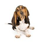 щенок гончей basset Стоковая Фотография