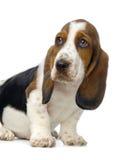 щенок гончей basset Стоковые Изображения