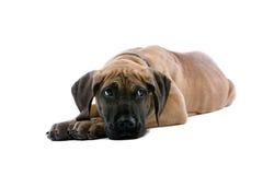 щенок датчанина большой Стоковые Фотографии RF