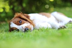 Щенок лежа на траве Стоковое Изображение