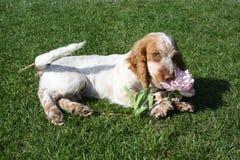 Щенок играя с цветком Стоковые Фото