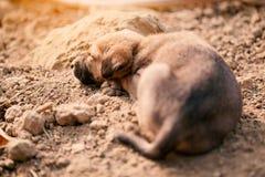 Щенок индийской отечественной dogIndian собаки парии Стоковая Фотография