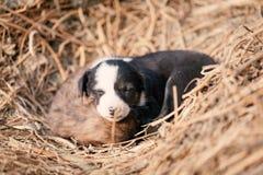 Щенок индийской отечественной dogIndian собаки парии Стоковые Изображения RF