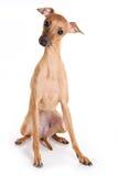 щенок итальянки борзой Стоковые Фото