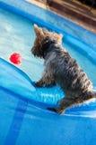 Щенок и его шарик Стоковая Фотография