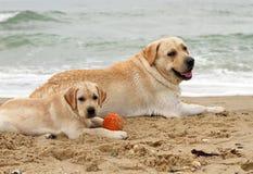 Щенок и желтый цвет labrador играя с шариком Стоковое Изображение RF