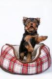 Щенок йоркширского терьера лежа в кресле в эритроците Стоковые Изображения RF
