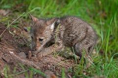 Щенок койота (latrans волка) выкапывает вверх похороненную часть мяса Стоковое Изображение