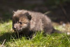 Щенок красной лисы стоковое изображение rf