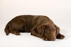 щенок лаборатории шоколада Стоковая Фотография RF
