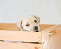 щенок лаборатории Стоковая Фотография