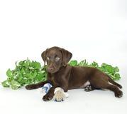 щенок лаборатории Стоковое Изображение RF